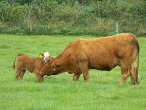 Cows at Castleview House, County Laois